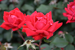 Double Knock Out® Rose (Rosa 'Radtko') at Wasco Nursery
