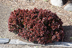 Midnight Ruby Barberry (Berberis thunbergii 'Miruzam') at Wasco Nursery