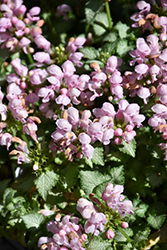 Pink Pewter Spotted Dead Nettle (Lamium maculatum 'Pink Pewter') at Wasco Nursery