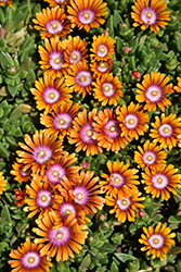 Fire Spinner Ice Plant (Delosperma 'Fire Spinner') at Wasco Nursery