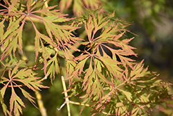 Ice Dragon™ Maple (Acer 'IsliD') at Wasco Nursery