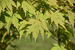 Jack Frost® Arctic Jade® Maple (Acer 'isIAJ') at Wasco Nursery