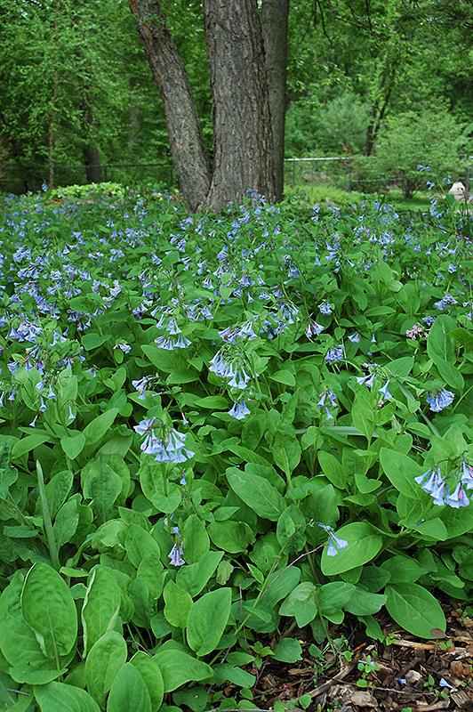 Couple Bedding: Virginia Bluebells (Mertensia Virginica) In St. Charles