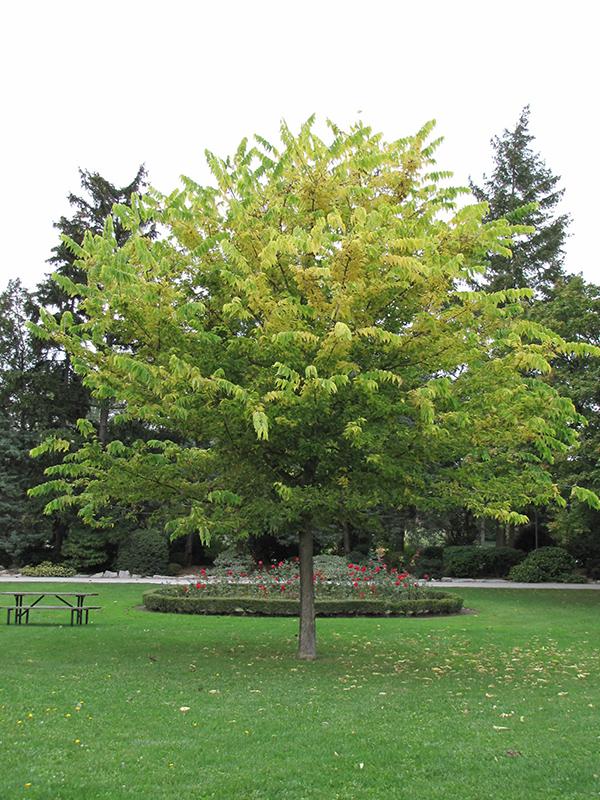 Common Hackberry Celtis Occidentalis In St Charles