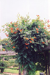Trumpetvine (Campsis radicans) at Wasco Nursery