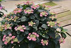 Tuff Stuff™ Red Hydrangea (Hydrangea serrata 'SMNMAKTSR') at Wasco Nursery