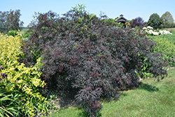 Black Lace® Elder (Sambucus nigra 'Eva') at Wasco Nursery