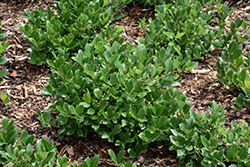 Low Scape® Hedger Aronia (Aronia melanocarpa 'UCONNAM166') at Wasco Nursery